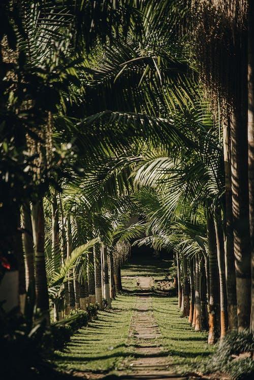 Pathway between tall palms in tropical garden