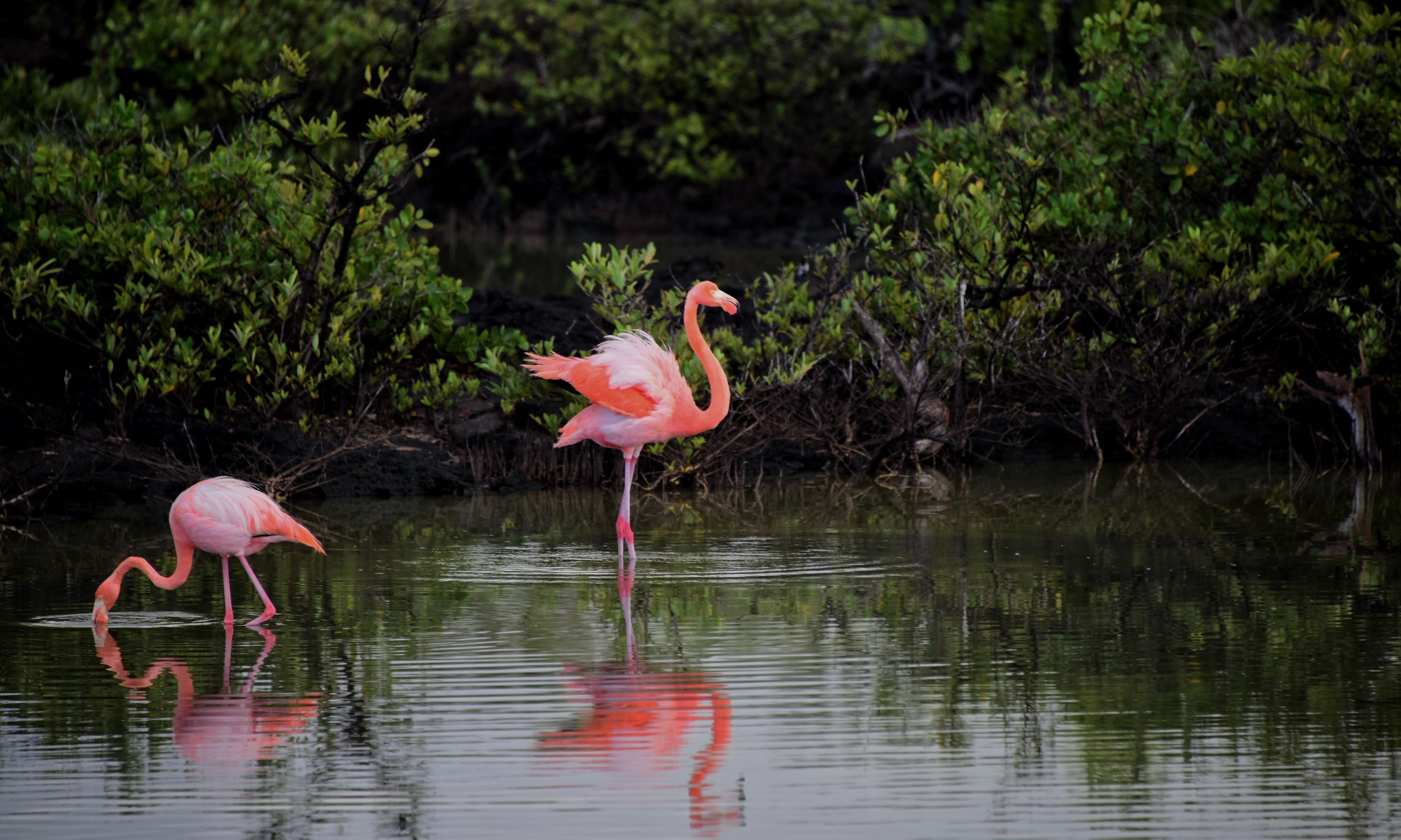 pink and red flamingo standing near body of 183 free stock photo
