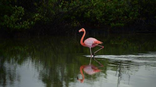Imagine de stoc gratuită din flamingo