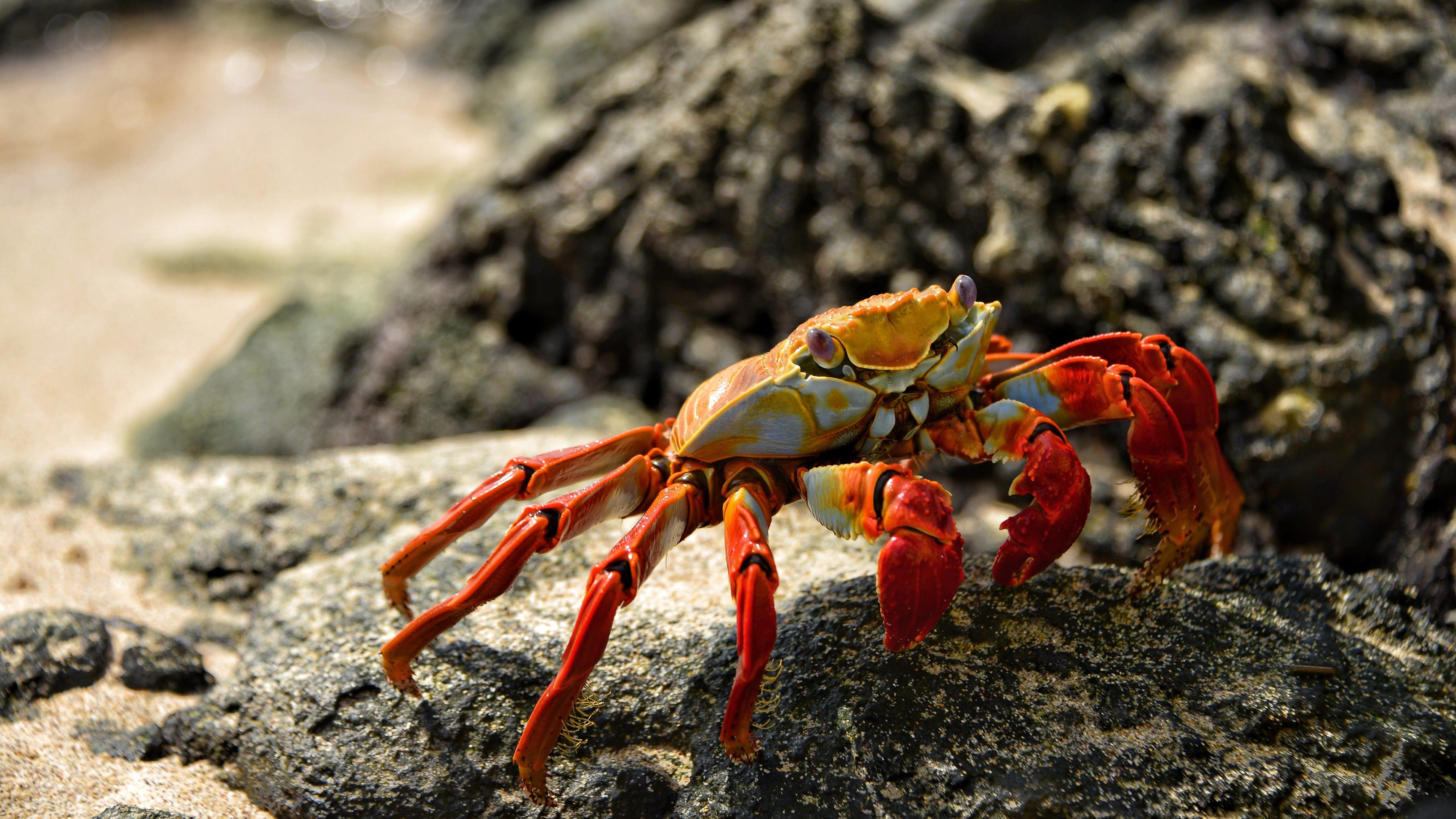 Orange Crab in Shallow Photo