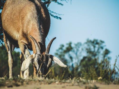 Безкоштовне стокове фото на тему «animales comiendo, cabra, cerro, chivo»