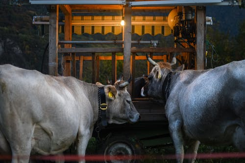 Gray Cow on Brown Wooden Cage