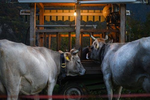 Immagine gratuita di agricoltura, alimentazione, animale