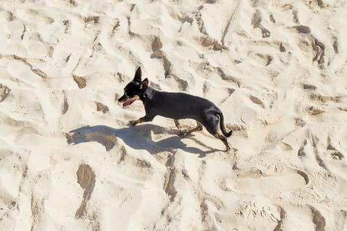 Black and Tan Smooth Chihuahua on Sand
