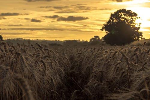 คลังภาพถ่ายฟรี ของ studley, ข้าวสาลี, ตะวันลับฟ้า, ท้องฟ้า