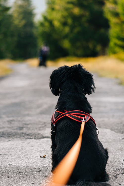 Black Short Coat Small Dog With Red and Black Leash