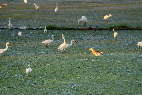 Great egrets and squacco heron on green sea coast