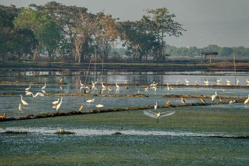 Flock of white great egrets drinking water from paddy fields surrounded by green tress against cloudy sky in countryside