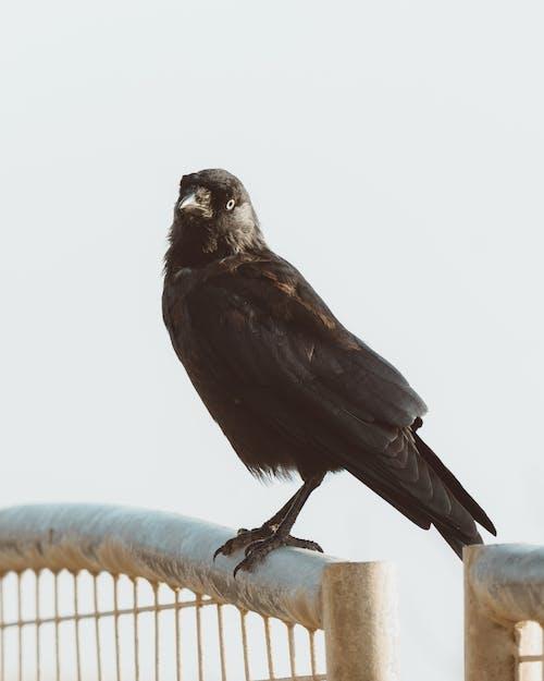 Black crow on metal fence