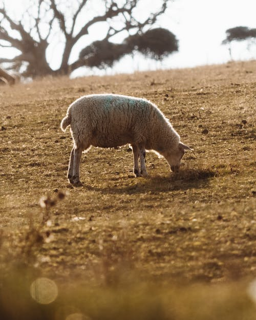 Lonely sheep grazing on hillside
