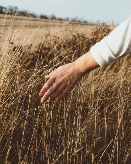 Unrecognizable person wearing white shirt touching dry stems while walking on rural field in autumn day