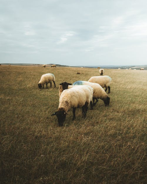 Flock of white woolly sheep grazing on green pasture with grass in rural terrain against cloudy sky in nature outside