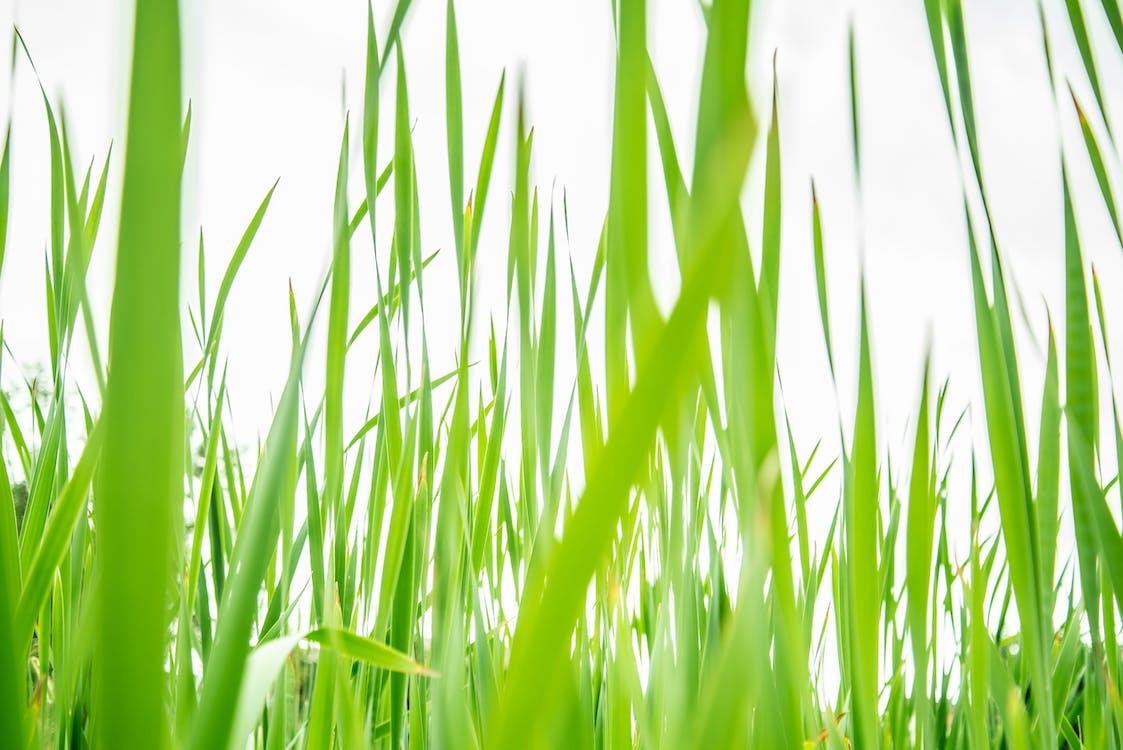 fű, közelkép, mező