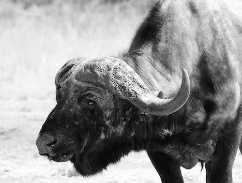 Grayscale Photo of an African Buffalo