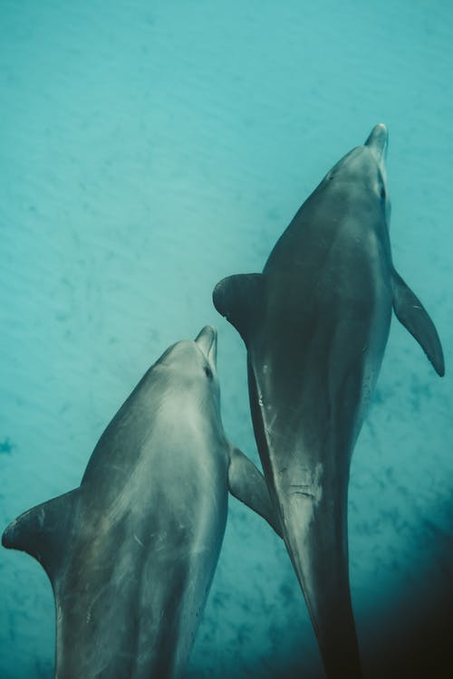 Photo of Two Dolphins Underwater