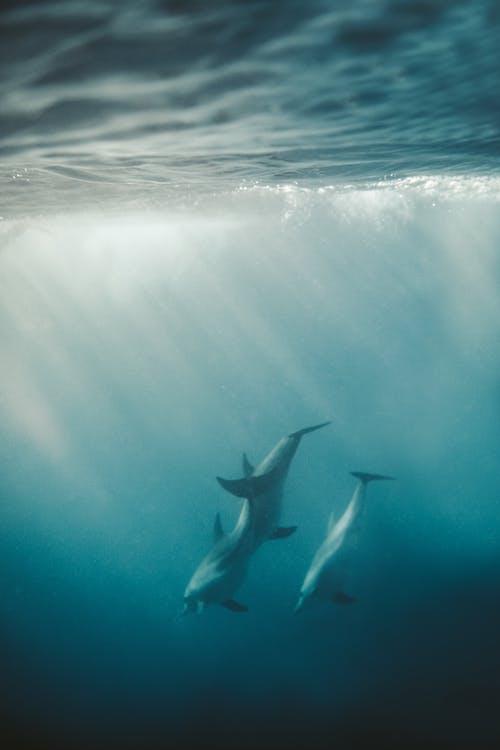 Photos gratuites de animal, aquatique, dauphins