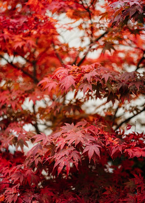 Red and White Leaves