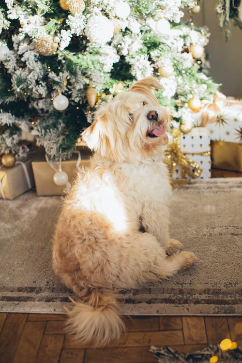 Long Coat Dog Sitting on Carpet Near Christmas Tree