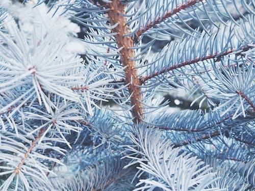 Foto d'estoc gratuïta de arbre, branques, pi, planta