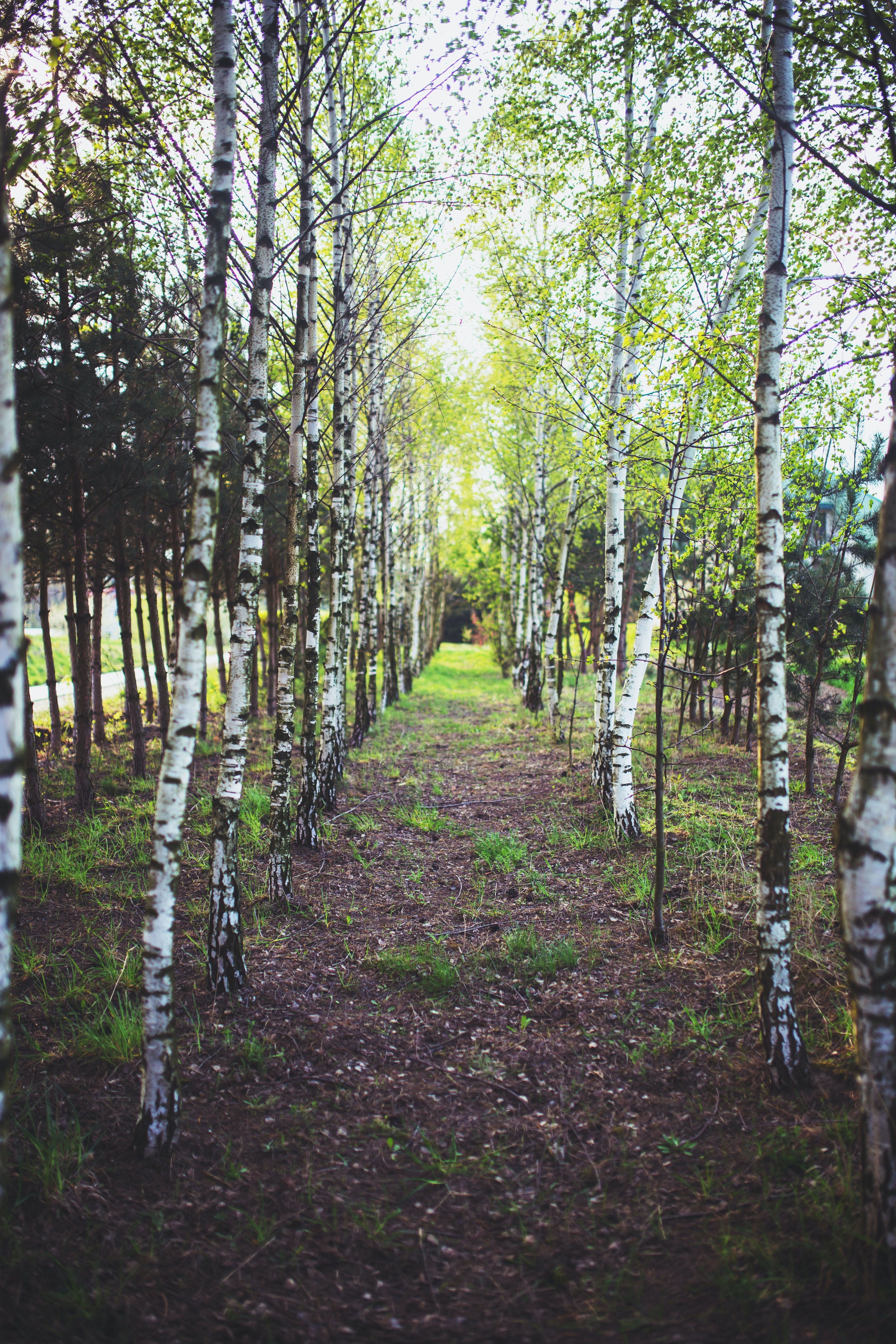 The Path Among The Trees 183 Free Stock Photo