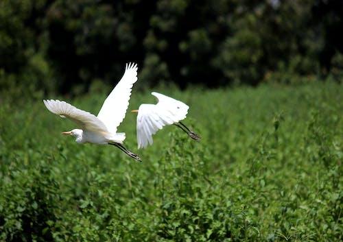 Imagine de stoc gratuită din albă albă, animal, animale sălbatice, egretă