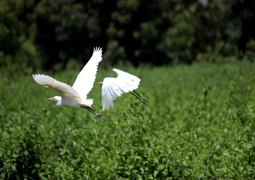 Two White Birds Above Green Leafed Trees