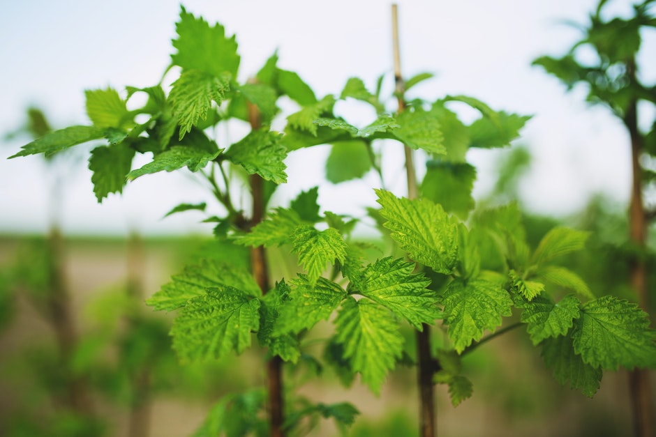 Raspberry: young leaves