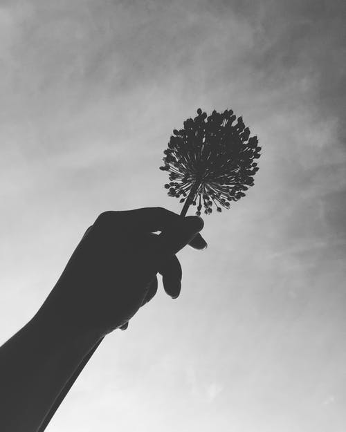 Free stock photo of b&w, flower, hand