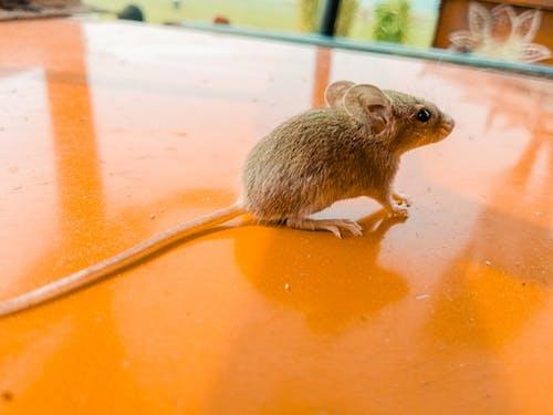 Free stock photo of animal pet, animal wildlife, rat, rat pic