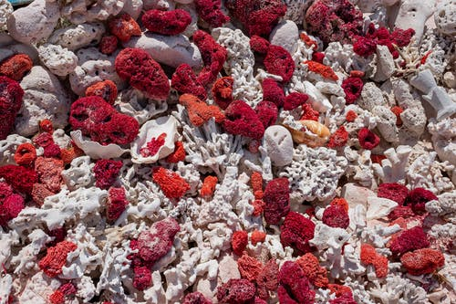 Free stock photo of corals, red corals, white corals