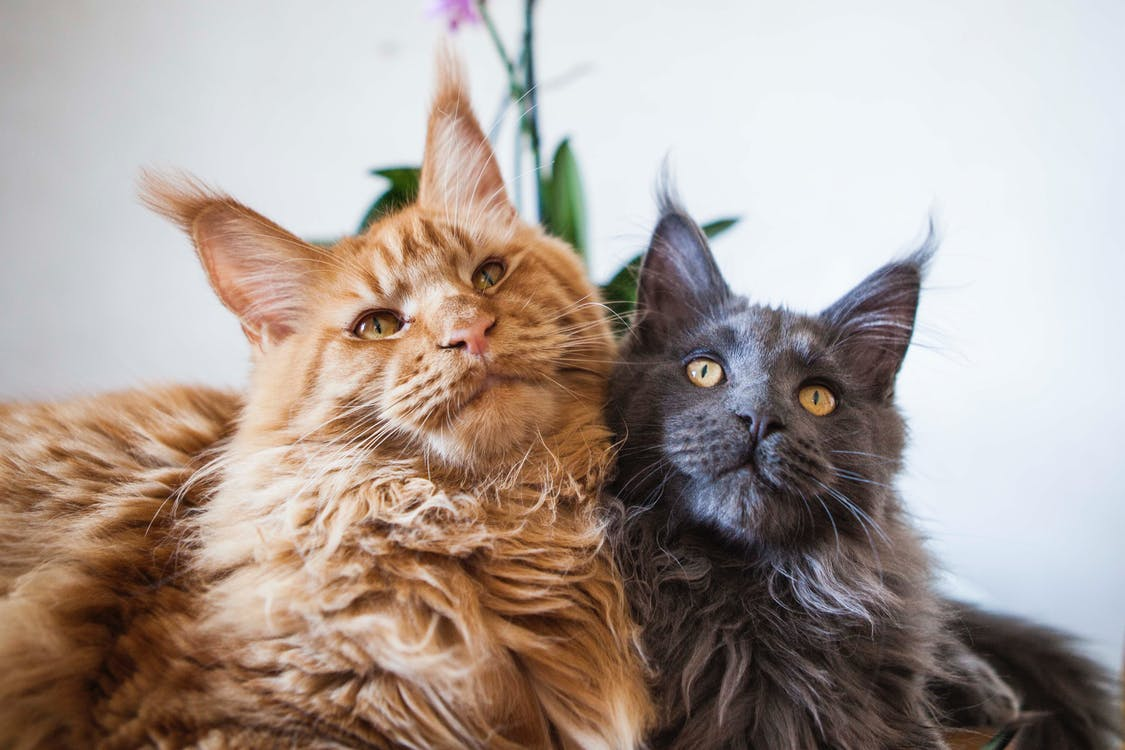 Free stock photo of cats, maine coon