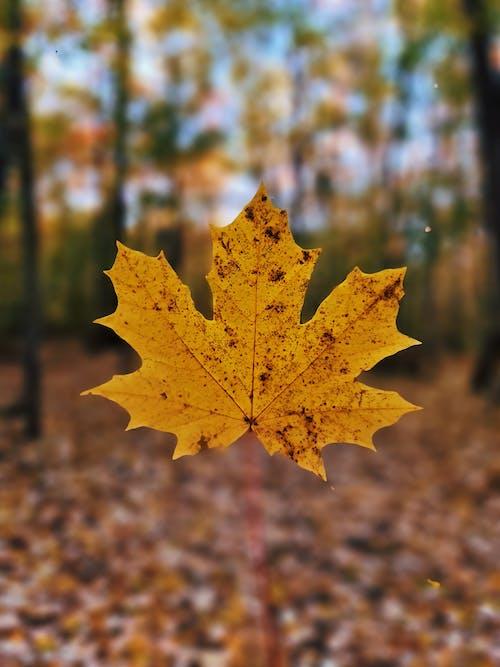Yellow Maple Leaf in Tilt Shift Lens