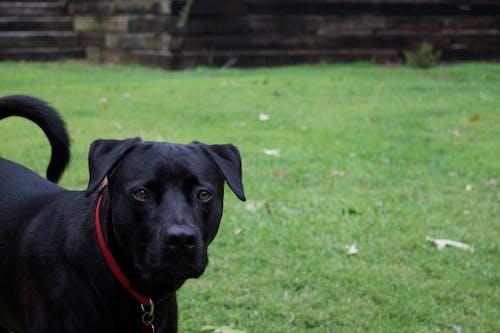Free stock photo of animal photography, animal portrait, black dog, dog