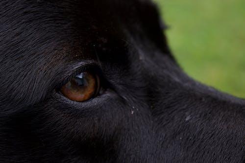 Free stock photo of animal photography, animal portrait, black dog, close up