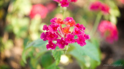 Free stock photo of beautiful flowers, flower, red flower