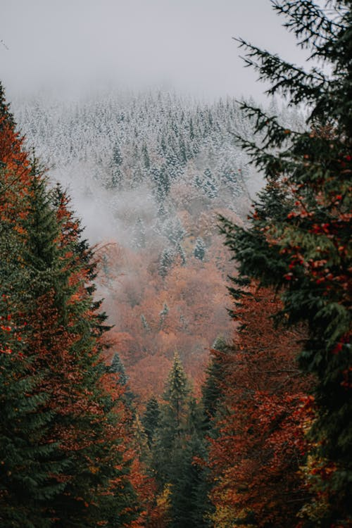 Drone view of amazing forest with red and green coniferous trees and snowy trees on slope of mountain in distance in fog