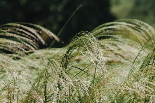 Lush green feather grass in countryside field