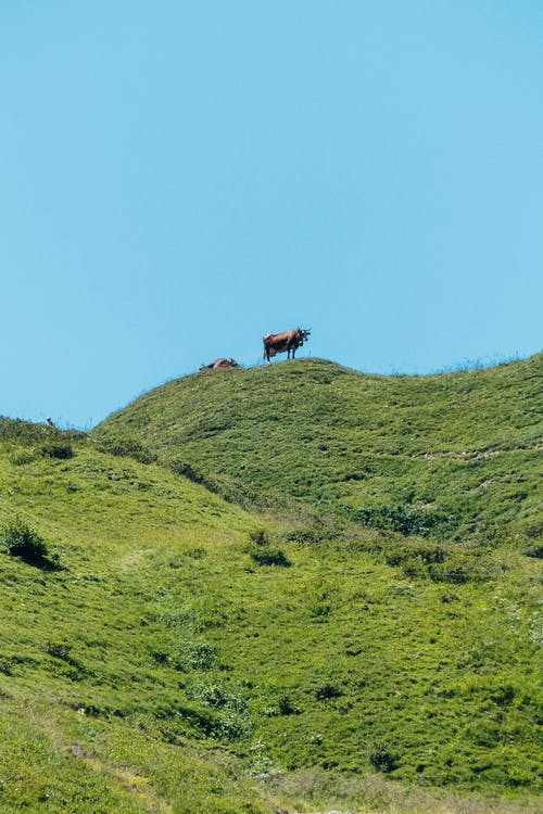 Cow on top of green hill in countryside