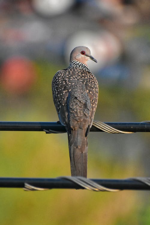 Selective Focus Photo of a Spotted Dove Perched on a Black Wire