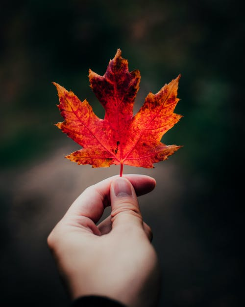 Selective Photo of a Person's Hand Holding a Maple Leaf
