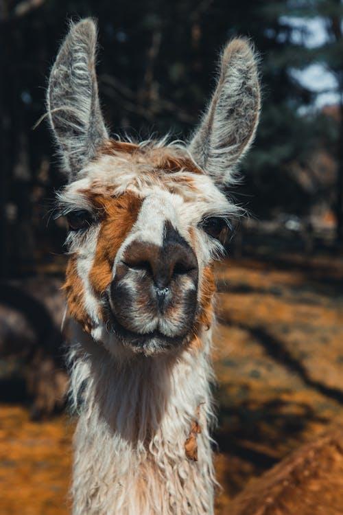 Adorable lama standing in enclosure