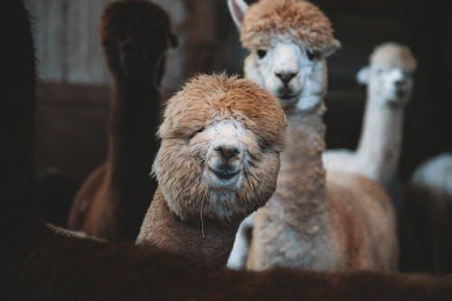 Funny alpacas standing in enclosure