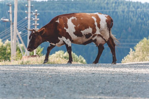 Photo of a White and Brown Cow on the Road
