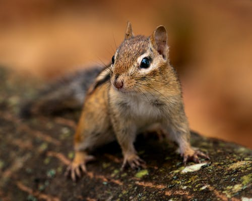Small cute fluffy chipmunk with whiskers and stripes on body sitting on tree in wildlife