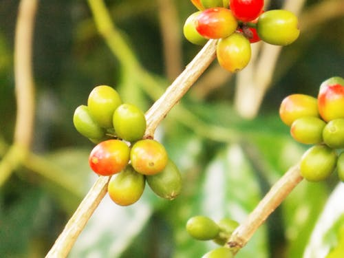 Free stock photo of fruits, green, nature