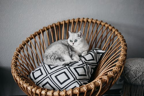 Curious adorable British Shorthair car sitting on pillow placed on rattan basket