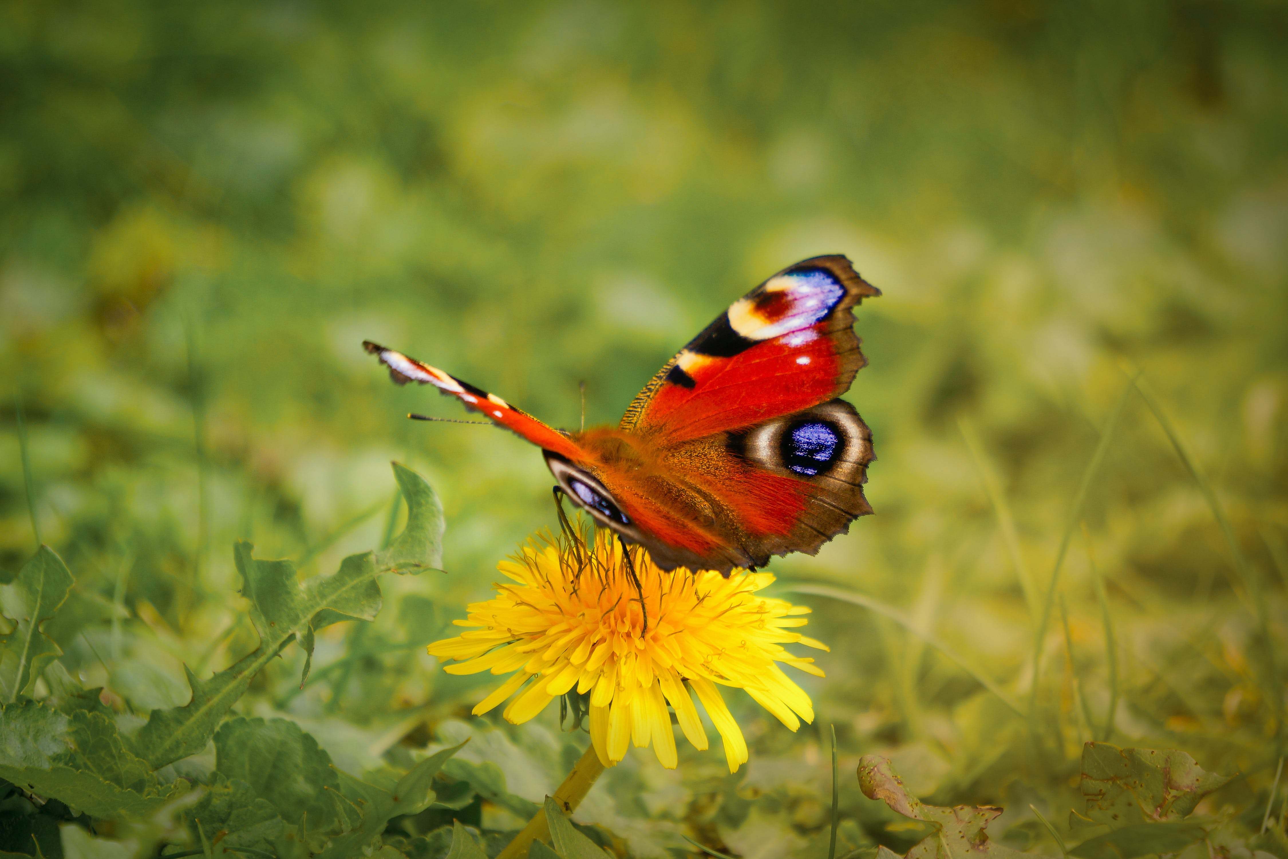 Red, Brown, and Black Butterfly on Yellow Daisy Flower
