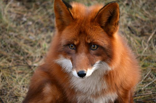 High angle of fluffy dangerous predatory fox sitting on dry grass in meadow