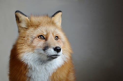 Attentive fox with fluffy fur against gray wall