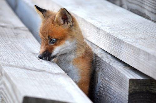 Small red fox between wooden balks